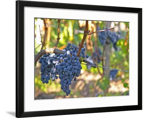 Ripe Bunches of Merlot Grapes, Chateau La Grave Figeac, Saint Emilion, Bordeaux, France-Per Karlsson-Framed Art Print