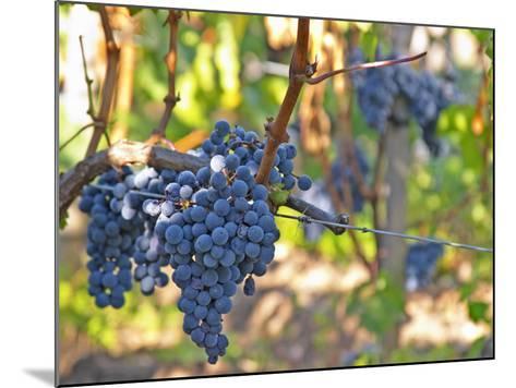 Ripe Bunches of Merlot Grapes, Chateau La Grave Figeac, Saint Emilion, Bordeaux, France-Per Karlsson-Mounted Photographic Print