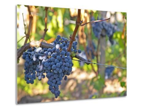 Ripe Bunches of Merlot Grapes, Chateau La Grave Figeac, Saint Emilion, Bordeaux, France-Per Karlsson-Metal Print