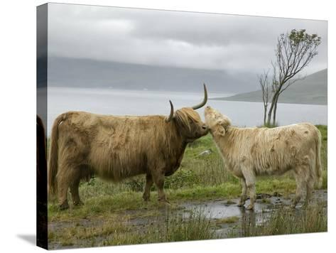 Highland Cows Courting and Grooming, Scotland-Ellen Anon-Stretched Canvas Print