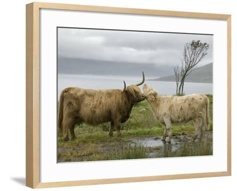 Highland Cows Courting and Grooming, Scotland-Ellen Anon-Framed Art Print