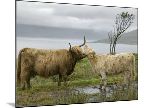 Highland Cows Courting and Grooming, Scotland-Ellen Anon-Mounted Photographic Print