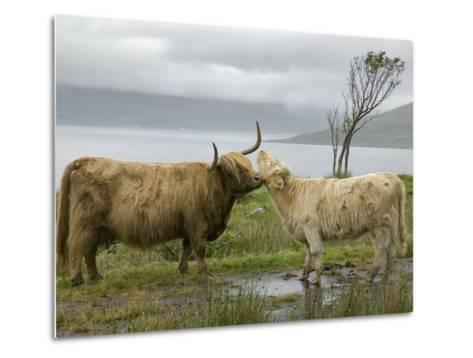 Highland Cows Courting and Grooming, Scotland-Ellen Anon-Metal Print