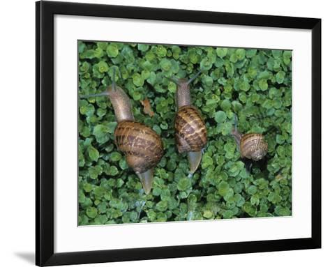 Snails Crawling Through Duckweed-Nancy Rotenberg-Framed Art Print
