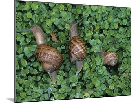 Snails Crawling Through Duckweed-Nancy Rotenberg-Mounted Photographic Print