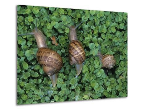 Snails Crawling Through Duckweed-Nancy Rotenberg-Metal Print
