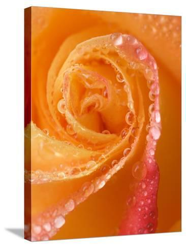 Rose Close-up with Dew-Nancy Rotenberg-Stretched Canvas Print