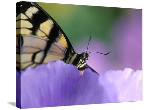 Close-up of Swallowtail Butterfly on Petunia in Garden-Nancy Rotenberg-Stretched Canvas Print