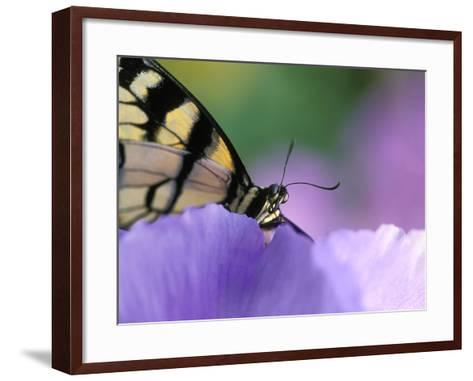 Close-up of Swallowtail Butterfly on Petunia in Garden-Nancy Rotenberg-Framed Art Print