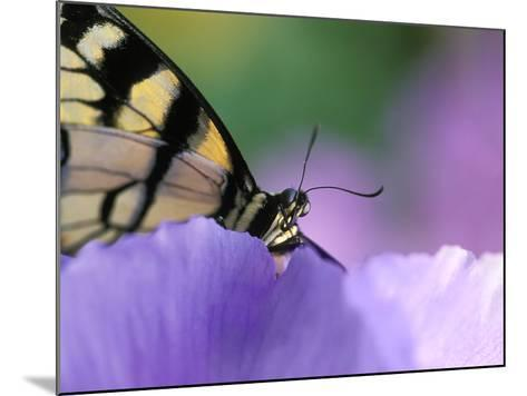 Close-up of Swallowtail Butterfly on Petunia in Garden-Nancy Rotenberg-Mounted Photographic Print