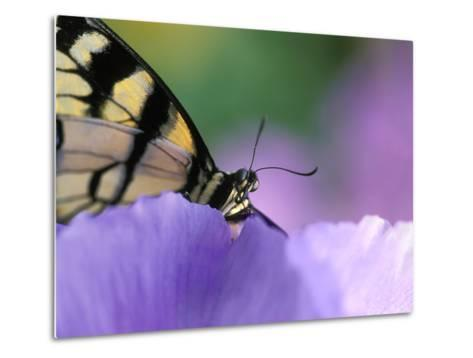 Close-up of Swallowtail Butterfly on Petunia in Garden-Nancy Rotenberg-Metal Print