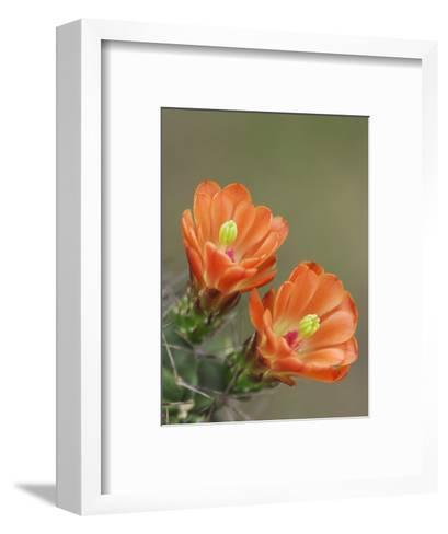 Claret Cup Cactus Blooming, Uvalde County, Hill Country, Texas, USA-Rolf Nussbaumer-Framed Art Print