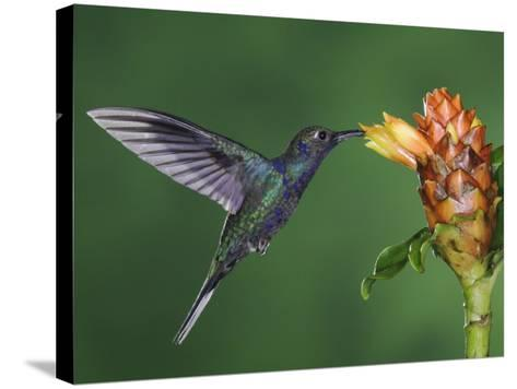 Violet Sabrewing in Flight Feeding on Spiral Ginger, Central Valley, Costa Rica-Rolf Nussbaumer-Stretched Canvas Print