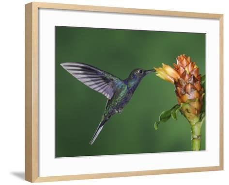 Violet Sabrewing in Flight Feeding on Spiral Ginger, Central Valley, Costa Rica-Rolf Nussbaumer-Framed Art Print