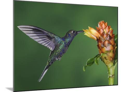 Violet Sabrewing in Flight Feeding on Spiral Ginger, Central Valley, Costa Rica-Rolf Nussbaumer-Mounted Photographic Print