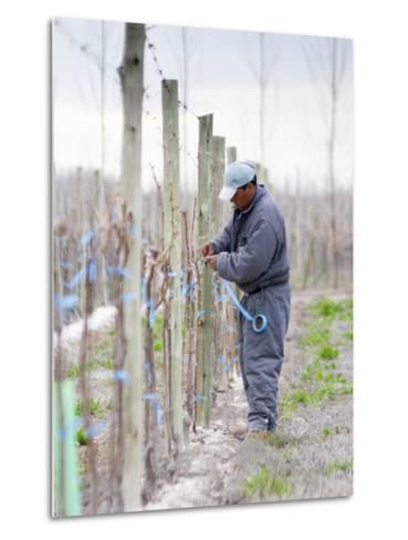Vineyard Worker, Bodega Nqn Winery, Vinedos De La Patagonia, Neuquen, Patagonia, Argentina-Per Karlsson-Metal Print