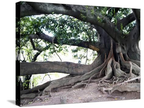 Tree with Roots and Graffiti in Park on Plaza Alverar Square, Buenos Aires, Argentina-Per Karlsson-Stretched Canvas Print