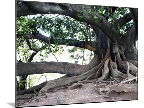 Tree with Roots and Graffiti in Park on Plaza Alverar Square, Buenos Aires, Argentina-Per Karlsson-Mounted Photographic Print