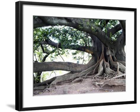 Tree with Roots and Graffiti in Park on Plaza Alverar Square, Buenos Aires, Argentina-Per Karlsson-Framed Art Print