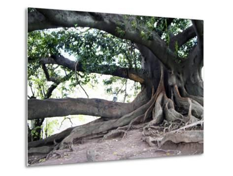 Tree with Roots and Graffiti in Park on Plaza Alverar Square, Buenos Aires, Argentina-Per Karlsson-Metal Print
