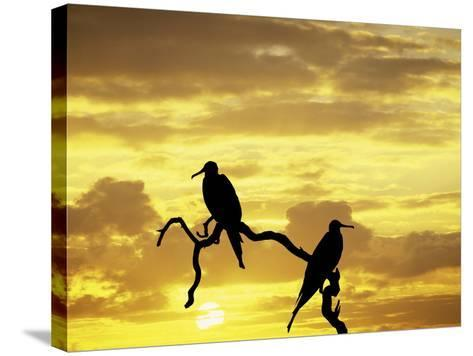 Silhouette of Frigate Birds on Tree Limb at Sunset, Galapagos Islands, Ecuador-Jim Zuckerman-Stretched Canvas Print