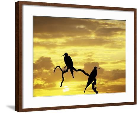 Silhouette of Frigate Birds on Tree Limb at Sunset, Galapagos Islands, Ecuador-Jim Zuckerman-Framed Art Print