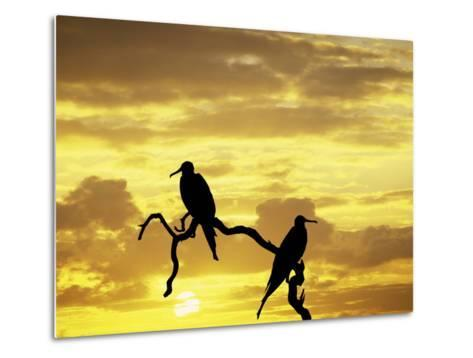 Silhouette of Frigate Birds on Tree Limb at Sunset, Galapagos Islands, Ecuador-Jim Zuckerman-Metal Print