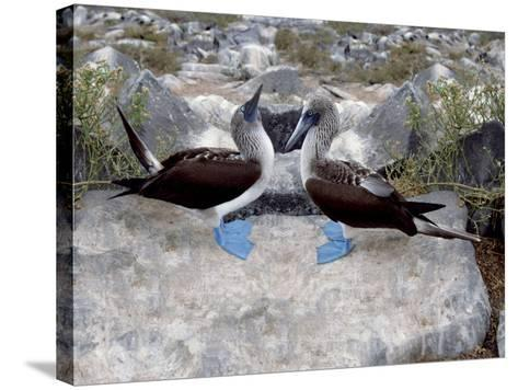 Blue-Footed Boobies in Skypointing Display, Galapagos Islands, Ecuador-Jim Zuckerman-Stretched Canvas Print