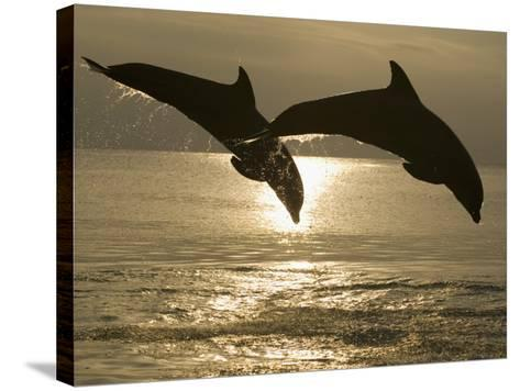 Bottlenose Dolphins, Caribbean Sea-Stuart Westmoreland-Stretched Canvas Print