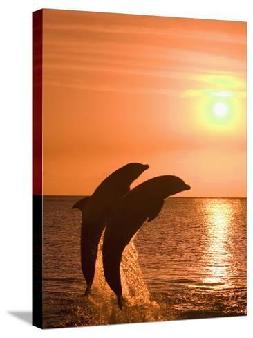 Bottlenose Dolphins, Caribbean Sea-Stuart Westmoreland-Stretched Canvas Print