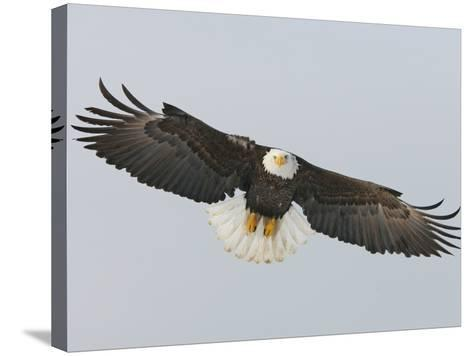 Bald Eagle Flying with Full Wingspread, Homer, Alaska, USA-Arthur Morris-Stretched Canvas Print