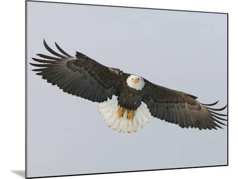 Bald Eagle Flying with Full Wingspread, Homer, Alaska, USA-Arthur Morris-Mounted Photographic Print