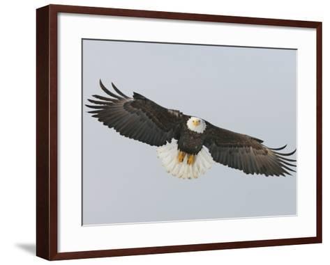 Bald Eagle Flying with Full Wingspread, Homer, Alaska, USA-Arthur Morris-Framed Art Print