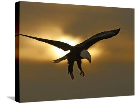 Bald Eagle Preparing to Land Silhouetted by Sun and Clouds, Homer, Alaska, USA-Arthur Morris-Stretched Canvas Print