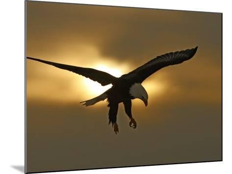 Bald Eagle Preparing to Land Silhouetted by Sun and Clouds, Homer, Alaska, USA-Arthur Morris-Mounted Photographic Print