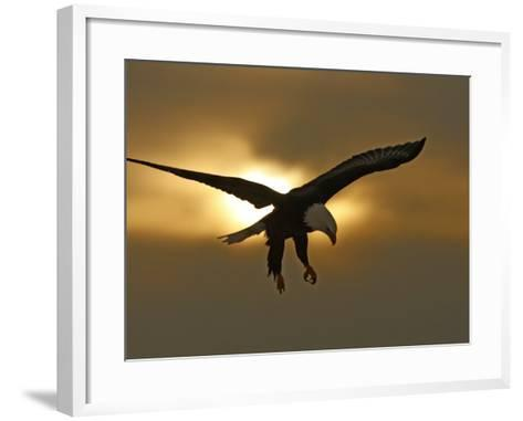 Bald Eagle Preparing to Land Silhouetted by Sun and Clouds, Homer, Alaska, USA-Arthur Morris-Framed Art Print