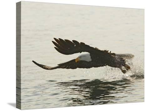 Bald Eagle Seeking to Catch a Fish, Homer, Alaska, USA-Arthur Morris-Stretched Canvas Print