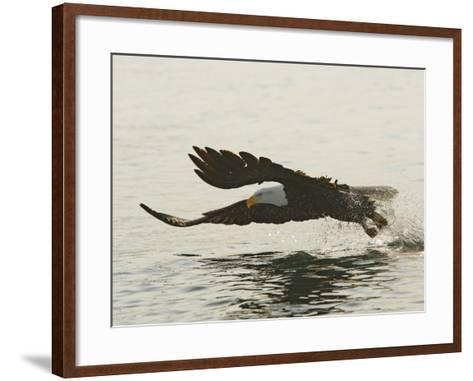 Bald Eagle Seeking to Catch a Fish, Homer, Alaska, USA-Arthur Morris-Framed Art Print