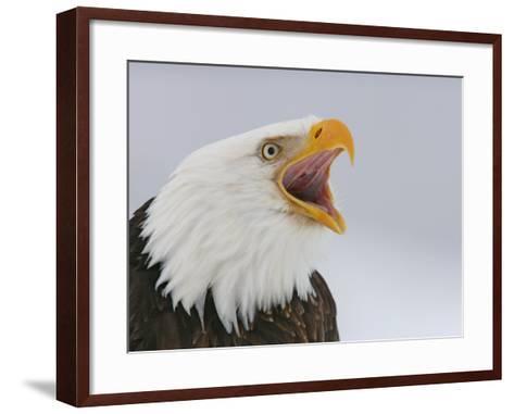 Bald Eagle Screaming, Homer, Alaska, USA-Arthur Morris-Framed Art Print