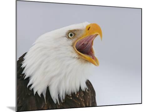 Bald Eagle Screaming, Homer, Alaska, USA-Arthur Morris-Mounted Photographic Print