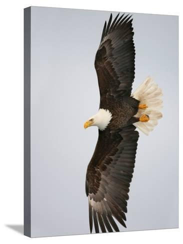 Bald Eagle in Flight with Wingspread, Homer, Alaska, USA-Arthur Morris-Stretched Canvas Print