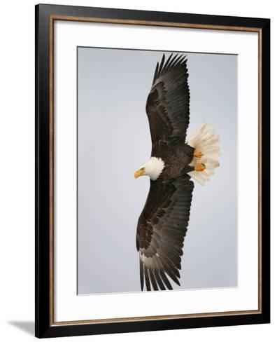 Bald Eagle in Flight with Wingspread, Homer, Alaska, USA-Arthur Morris-Framed Art Print