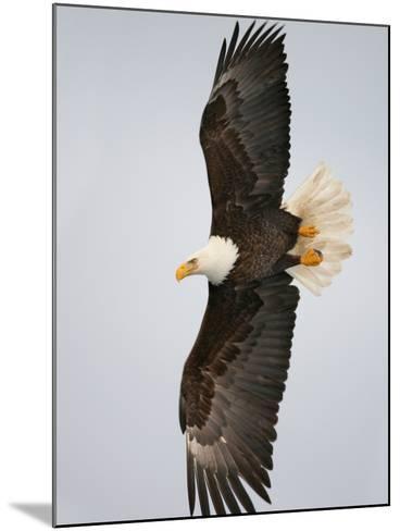 Bald Eagle in Flight with Wingspread, Homer, Alaska, USA-Arthur Morris-Mounted Photographic Print