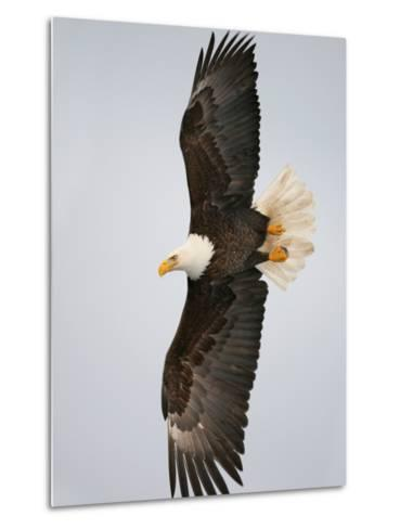 Bald Eagle in Flight with Wingspread, Homer, Alaska, USA-Arthur Morris-Metal Print