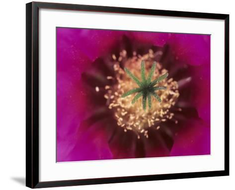 Pink Hedgehog Cactus Blossom, Arizona-Sonora Desert Museum, Tucson, Arizona, USA-John & Lisa Merrill-Framed Art Print