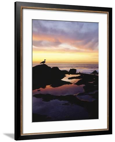 Seagull at Sunset Cliffs Tidepools on the Pacific Ocean, San Diego, California, USA-Christopher Talbot Frank-Framed Art Print