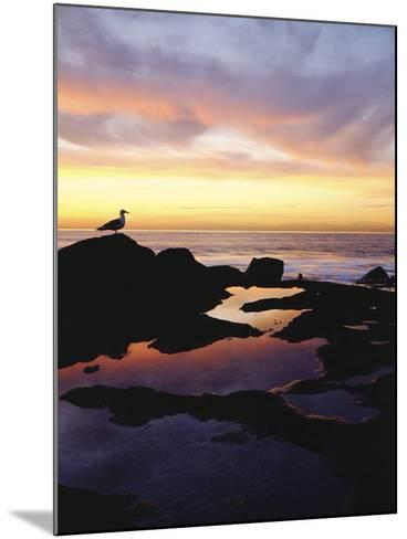 Seagull at Sunset Cliffs Tidepools on the Pacific Ocean, San Diego, California, USA-Christopher Talbot Frank-Mounted Photographic Print