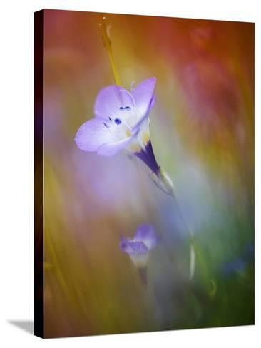 Abstract of Gilia Wildflowers, California, USA-Ellen Anon-Stretched Canvas Print