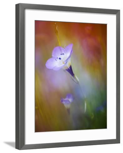 Abstract of Gilia Wildflowers, California, USA-Ellen Anon-Framed Art Print