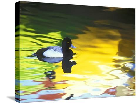 Lesser Scaup Drake, Coronado, California, USA-Arthur Morris.-Stretched Canvas Print